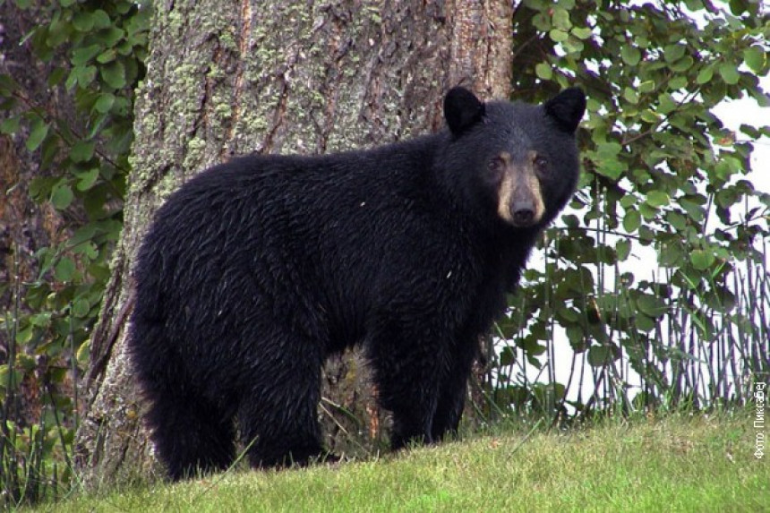 I medved hoće na Olimpijadu!