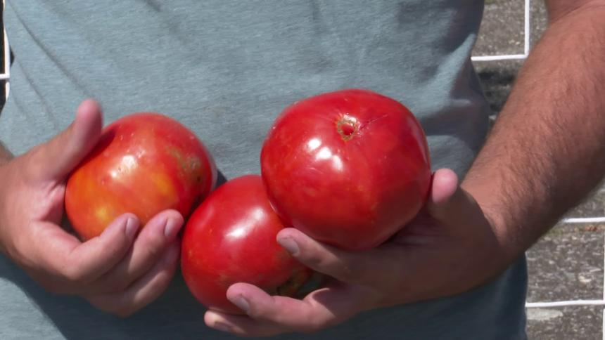 Poljoprivrednici nezadovoljni otkupom paradajza