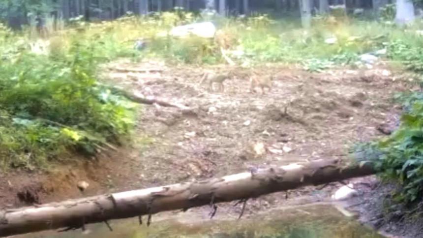 Na obodima planine Klekovače snimljen balkanski ris (VIDEO)