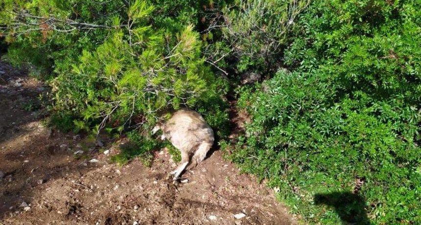 Hrvatska: Grom ubio 47 ovaca na Braču